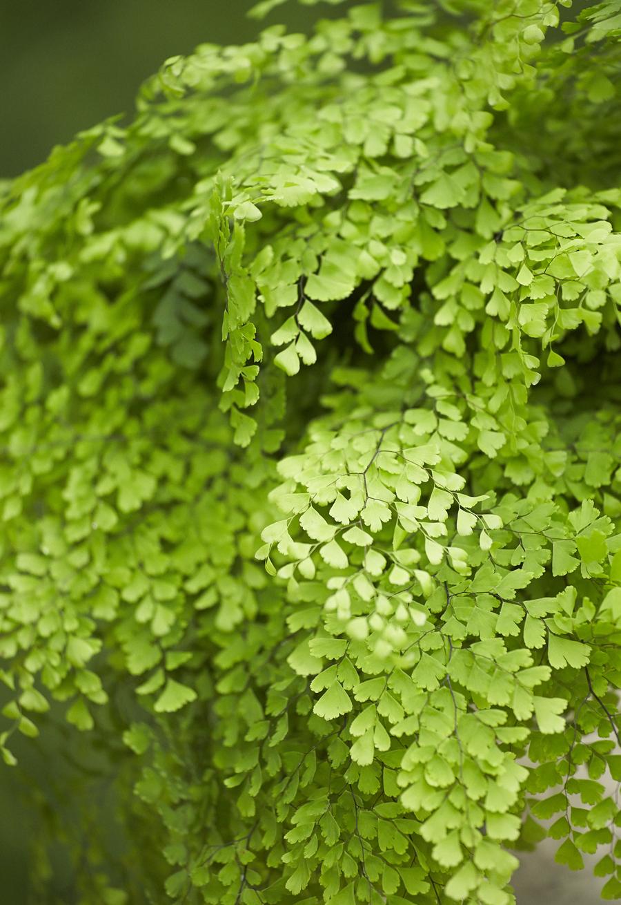 Maidenhair Fern | Home-Grown Greens | Alpha Fern