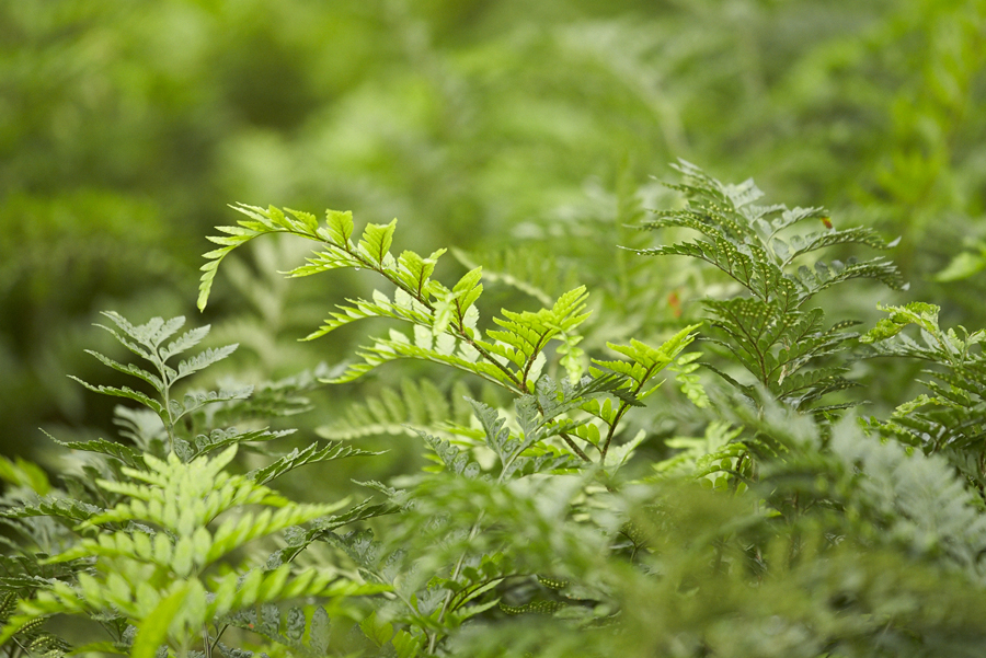 Alpha Fern Greenery
