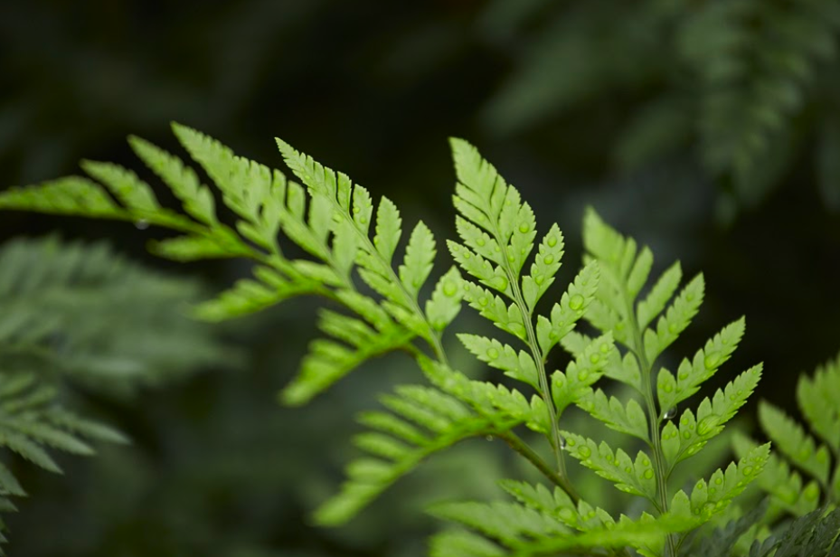 Closeup of Alpha Fern's Leatherleaf product