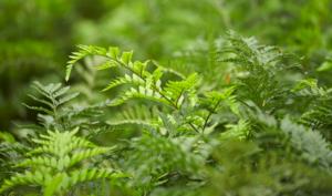 Closeup of Leatherleaf Greenery