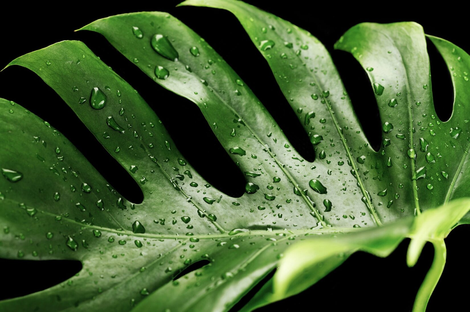 Fresh Monstera with Water Droplets